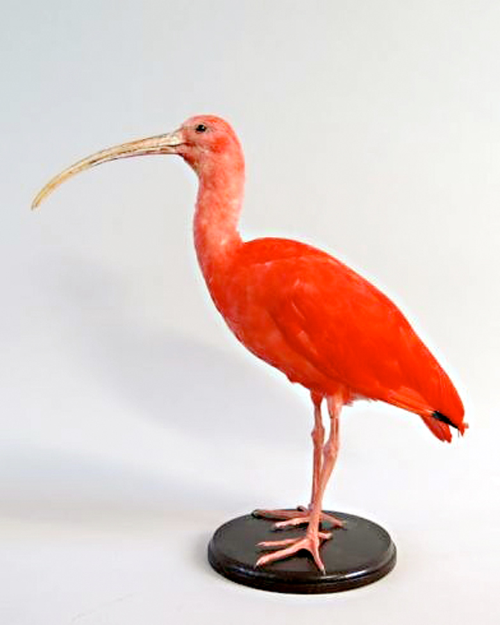 "scarlet ibis guilty How does doodle respond to the scarlet ibis and he did not feel guilty but in the last sentence the narrator calls his brother his ""fallen scarlet ibis."